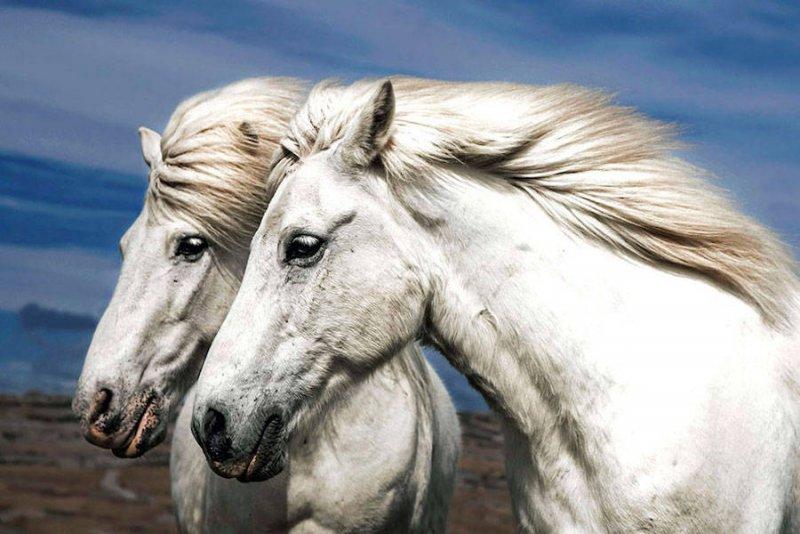 Дикие лошади Исландии - №2
