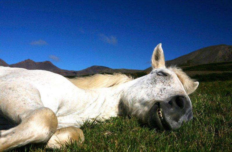 Дикие лошади Исландии - №6