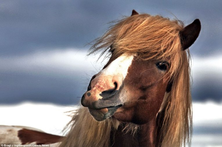 Дикие лошади Исландии - №9
