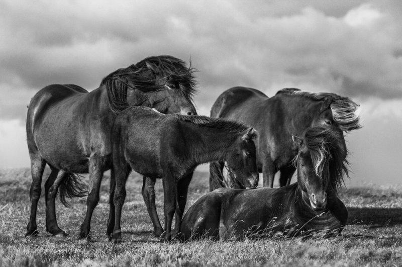 Дикие лошади Исландии - №14