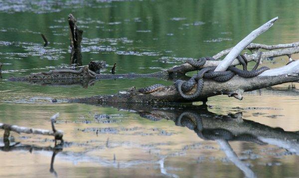 Змеи-рыболовы в интересной фото истории - №3