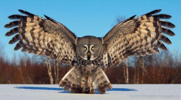 Финские совы - удивительные представители хищных птиц - №1