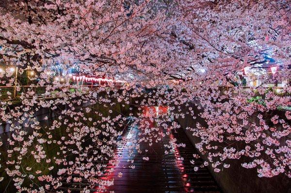 Самые красивые фотографии цветения сакуры - №3