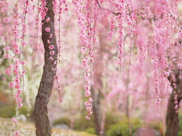 Самые красивые фотографии цветения сакуры - №7