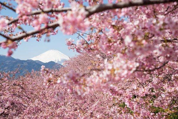Самые красивые фотографии цветения сакуры - №11