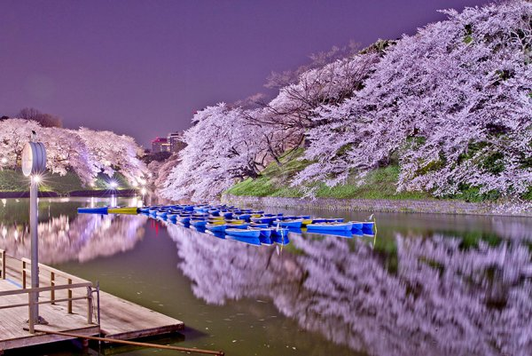 цветение сакуры фото