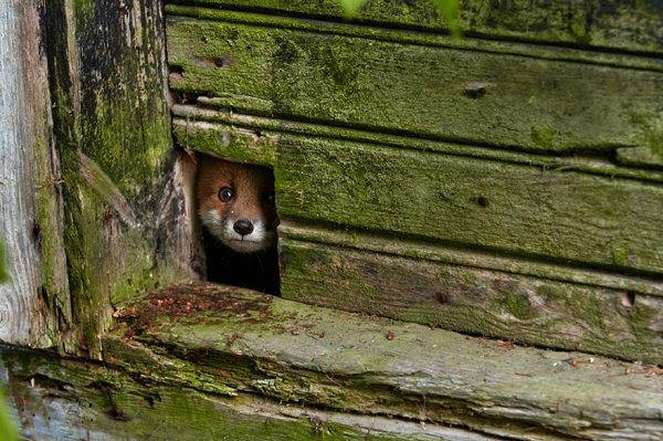 Насладитесь милыми фотографиями рыжей лисы - №3