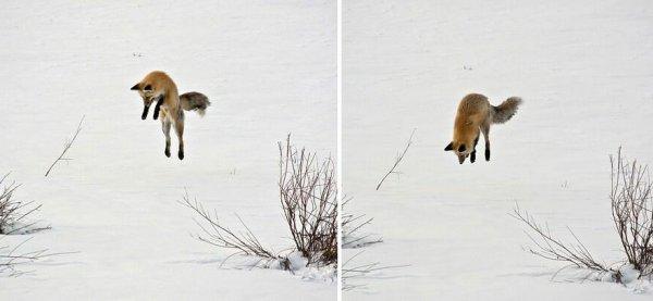 хитрая рыжая лиса
