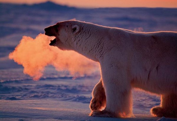 """""""Полярная одержимость"""" (Polar Obsession) Пола Никлена (Paul Nicklen)."""