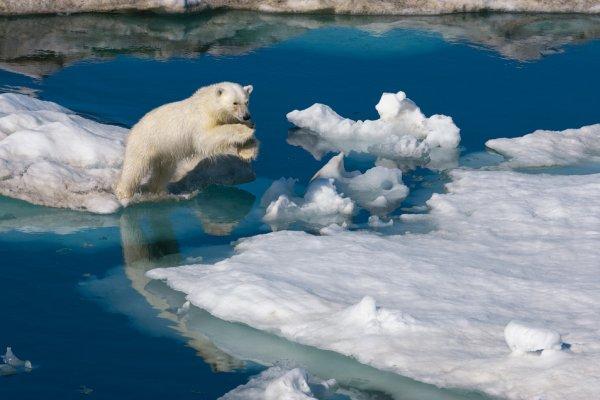 Молодой полярный медведь перепрыгивает с льдины на льдину. Баренцево море, Шпицберген, Норвегия.