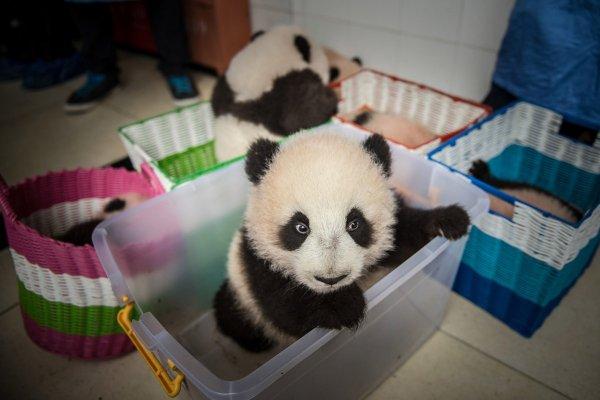 Как выращивают красивую китайскую панду - №1