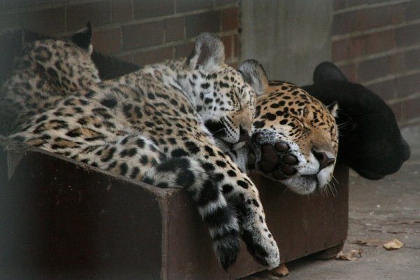 фото дикие кошки