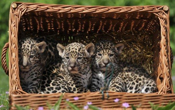 картинки диких кошек