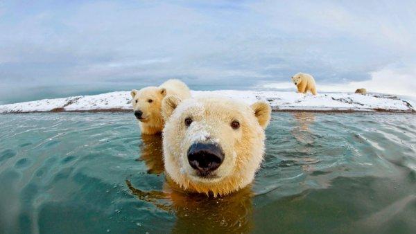 удачный кадр фото - Полярные медведи. © Steven Kazlowski