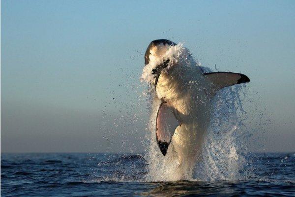 Опасные акулы Фото: Альфред Вейссенггер
