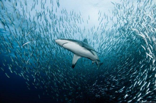 Опасные акулы Фото: Александр Сафонов