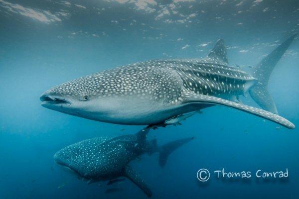 акулы опасные фото Фото: Томас Конрад
