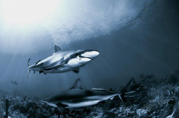 акулы опасные для человека Фото: Хулио Сан Хуан