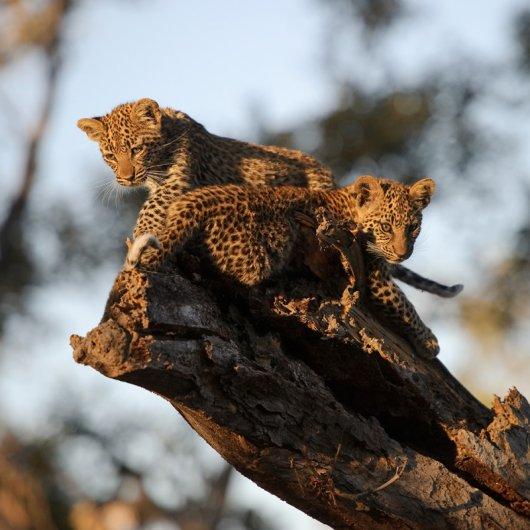..Котята быстро расту и котят нужно кормить. Однажды самка оставила их на три дня и ушла на охоту. Мы стояли рядом с котятами и наблюдали...