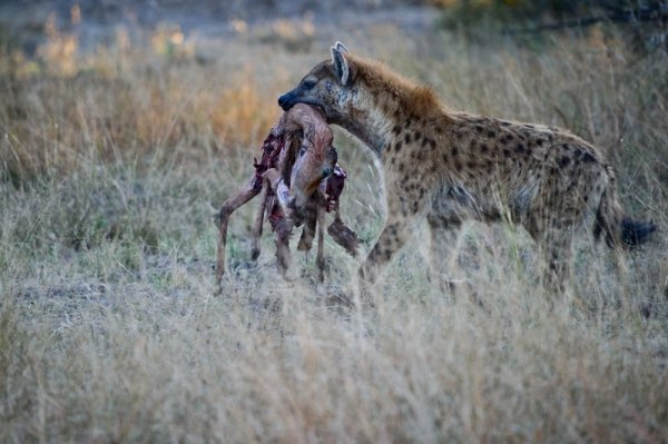.. Гиена следует по пятам за леопардами и в 60% случаев они отбирают добычу у леопардов!