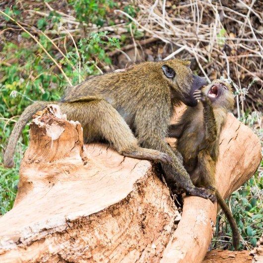 Моё путешествие по национальным паркам Танзании... - №6