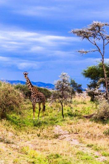 Моё путешествие по национальным паркам Танзании... - №30